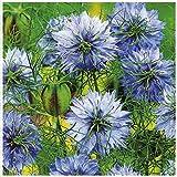 Lot de 100 graines Nigelle de Damas Miss Jekyll Blue (Cheveux de Vénus) - plante annuelle