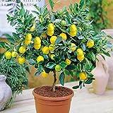 Shopmeeko Bonsai Lemon Tree Bonsai Hohe Überlebensrate Obstbaum Bonsai für Zuhause Gatden Hinterhof (50 Stück)