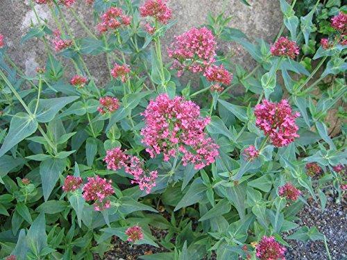 Rote Spornblume Centranthus ruber 'Coccineus' 50 Samen