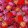 Tulpen-Mischung Dazzling Double von Gärtner Pötschke bei Du und dein Garten