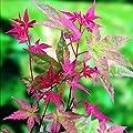 Future Exotics Acer palmatum Atropurpureum Roter Fächer Ahorn von Future Exotics - Du und dein Garten