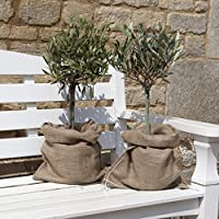 YouGarden Mini Standard Olive Trees in Hessian (Pair)