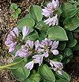 Blaugrüne Funkie Blue Mouse Ears - Hosta tokudama von Baumschule - Du und dein Garten
