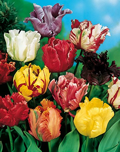 15 Rokoko-Tulpen gfranst rot blühend. Zwiebelgröße 10/11 - zu dem Artikel bekommen Sie gratis ein...