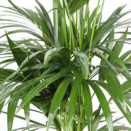 Generic Kentia-Palme - Howea forsteriana - ca. 160 cm Hoch - 24 cm Kulturtopf - erstklassige Pflanzenqualität vom Fachgärtner