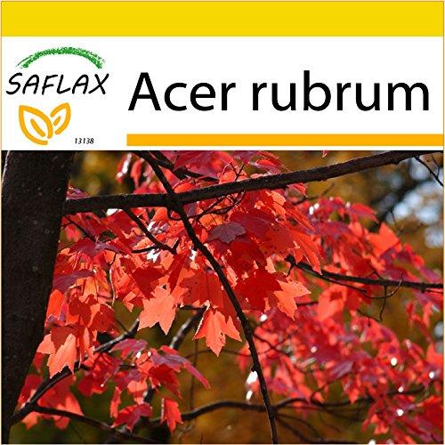 SAFLAX - Kit de culture - Erable rouge - 20 graines - Acer rubrum