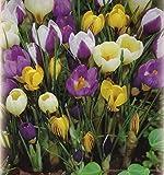 100 Botanische gemischte Krokusse Blumenzwiebeln Crocus krokus