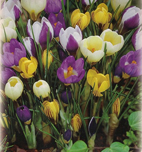 1000 Botanische gemischte Krokusse Blumenzwiebeln Crocus Krokuszwiebeln