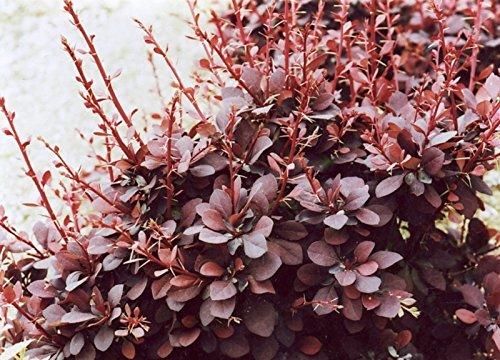 Red Berberitze, Berberis thunbergii atropurpurea, 20 Samen (Fall-Farbe, Hardy, Hecke)