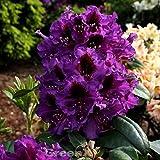 Großblumige Rhododendron Orakel 30-40cm
