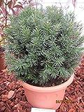 Taxus baccata Westerstede Kugel - Robuste Eibe Westerstede Formschnitt-Kugel