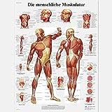 3B Scientific Lehrtafel Die menschliche Muskulatur
