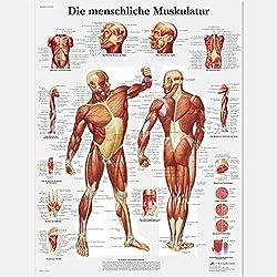 3B Scientific Lehrtafel laminiert - Die menschliche Muskulatur