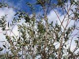 Asklepios-seeds® - Eucalyptus parvula (parvifolia) 100 Samen, winterharter Eukalyptus