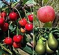 Starter Set Obstbäume, bestehend aus je 1 Pflanze: Apfel Cox Orange®, Birne Conference©, Kirsche Schneiders Späte®, Busch von Amazon.de Pflanzenservice auf Du und dein Garten