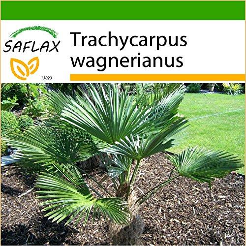 SAFLAX - Palmier miniature de Chusan - 4 graines - Avec substrat - Trachycarpus wagnerianus