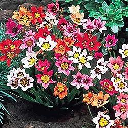 Humphreys Garden Sparaxis x 20 Bulbs Bulbos de Flores
