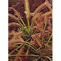 TROPICA - Rocío de Sol (Drosera capensis) - 200 semillas- Carnivore