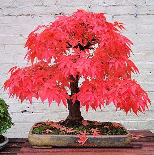 Japanese Red Maple Bonsai (20 bonsai blue maple tree seeds Bonsai tree seeds. rare sky blue japanese maple seeds Balcony plants for home garden Flower Red)
