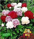 BALDUR-Garten Päonien Farb-Mix Pfingstrosen, 3 Knollen, Paeonia Hybrid