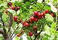 100 Samen Prunus cerasifera, türkische Pflaume, Can erik, Myrobalane, Wildobst von rareseeds auf Du und dein Garten