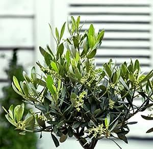 Olivenstrauch, 1 Stck