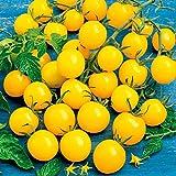 Qulista Samenhaus - Raritäten 50pcs BIO Tomatenpflanze Golden Pearl F1, veredelt ertragreich aromatisch Saatgut Obstsamen winterhart mehrjährig