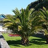Hardy Phoenix Palm Tree