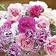 Pack x6 Dianthus 'Mixed' Pinks Perennial Garden Plug Plants