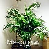 Hot Verkauf Chrysalidocarpus trompetenpfifferling Samen Konifere Bonsai Samen DIY Home Garden 5x/Tasche Pflanzen für Home Garten