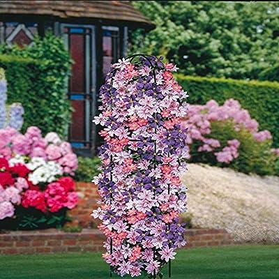 Clematis Kollektion - 3 pflanzen von Meingartenshop - Du und dein Garten