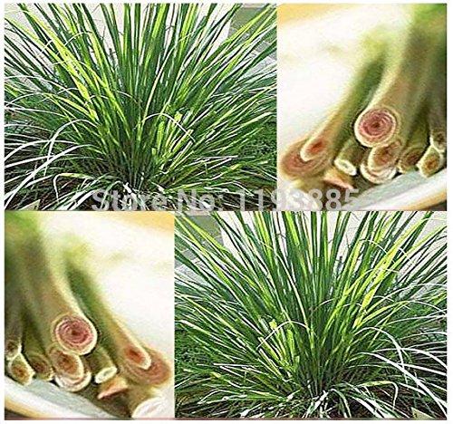 100 / sac de graines LEMON BAUME épices et d'herbes officinales, Bon Très parfumé pour les planteurs, la meilleure herbe de thé,