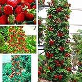 WuWxiuzhzhuo Heißer Verkauf 50 Stücke Rote Erdbeere Samen Hausgarten Obst Topf Dekoration Kletterpflanzen