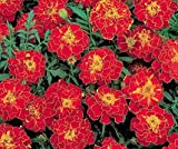 Bobby-Seeds Tagetessamen Brocade Red, Studentenblume Portion
