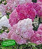 BALDUR-Garten Freiland-Hortensien 'Vanille Fraise', 1 Pflanze Hydrangea paniculata Gartenhortensie winterhart