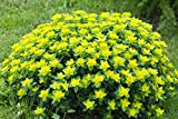 Wolfsmilch 10 Samen, Euphorbia polychroma (Cushion Spurge)
