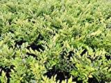 20 Stk. Heckenmyrte 'Maigrün' - (Lonicera nitida 'Maigrün')-Bodendecker im Topf 10-15 cm