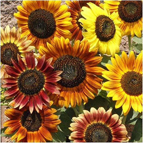 semi di girasole assortiti piante da giardino semi selvatici fioriture profumate cortile da giardino semi di girasole - 100 semi