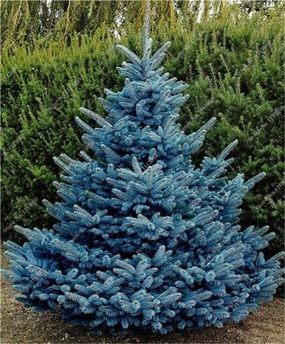 30pcs-amarillo-azul-spruce-semillas-de-arboles-de-hoja-perenne-semillas-raras-colorado-picea-pungens
