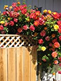#2: Rare Joseph's Coat Climbing Rose Plant MultiColor Rose 1 Live Plant