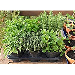 Seedscare Herbs Seeds combo-Sage, Thyme, Oregano, Rosemary, celery and Parsley (Pack of 40)