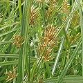 lichtnelke - Erdmandel (Cyperus esculentus) Black Tigers von Lichtnelke Pflanzenversand auf Du und dein Garten