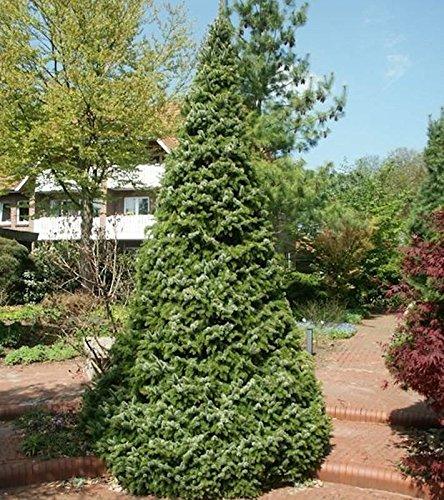 Serbische Kegel Fichte Zuckerhut 60-70cm - Picea omorika -