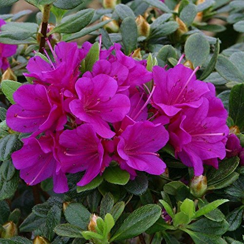 dwarf-evergreen-japanese-azalea-purple-diamond-hardy-garden-plant-grown-in-a-9cm-pot