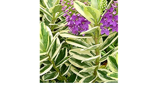 Hebe x andersonii \'Variegata\' 15cm pot size: Amazon.co.uk: Garden ...