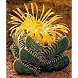 Tropica -Cactus- Auténtica Garganta Tigre (Faucaria trigrina) - 40 Semillas