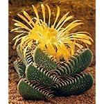 Tropica - cactus - (Faucaria trigrina) - 40 semi