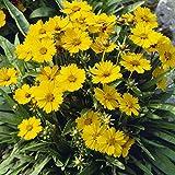 Dominik Blumen und Pflanzen, winterharte Staude Mädchenauge