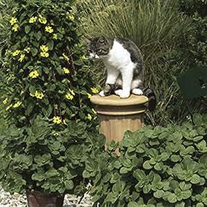 Coleus Canina Scardy Cat Plant Jumbo Plug plants (Pack of 12)