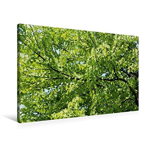 Premium Textil-Leinwand 90 cm x 60 cm quer, Katsura-Baum | Wandbild, Bild auf Keilrahmen, Fertigbild auf echter Leinwand, Leinwanddruck: Der und Parks angepflanzt. (CALVENDO Natur)